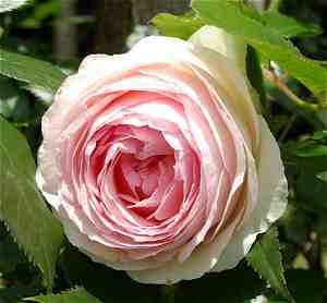 à la lumière du jour - Pépinière Roseraie