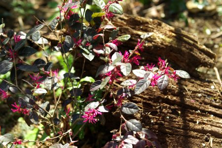 Loropetalum_chin_Ming Dynasty