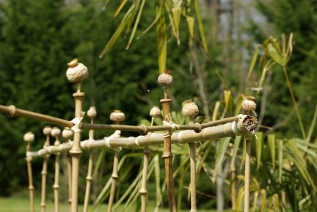 bambous_tumidissinoda